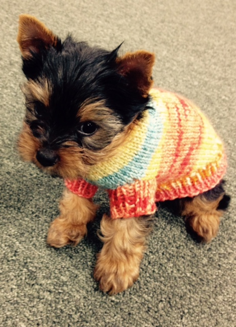Knitting Pattern For Teacup Dog : Tricots First Dog Sweater for Teacup sizes Starla Knits